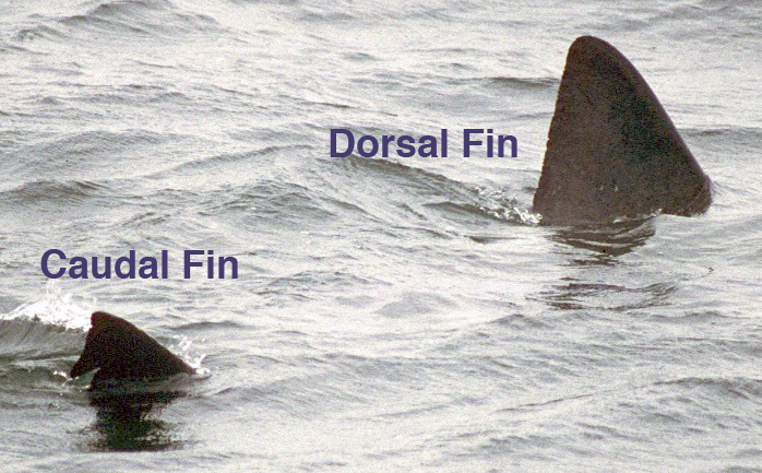 Basking Shark swimming with both the dorsal and the caudal fin showing above the water's surface