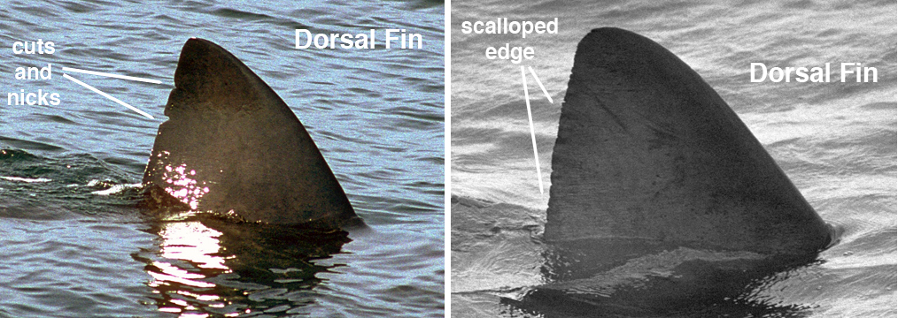 Unique cuts and scalloping pattern on the trailing edge of Basking Shark dorsal fins