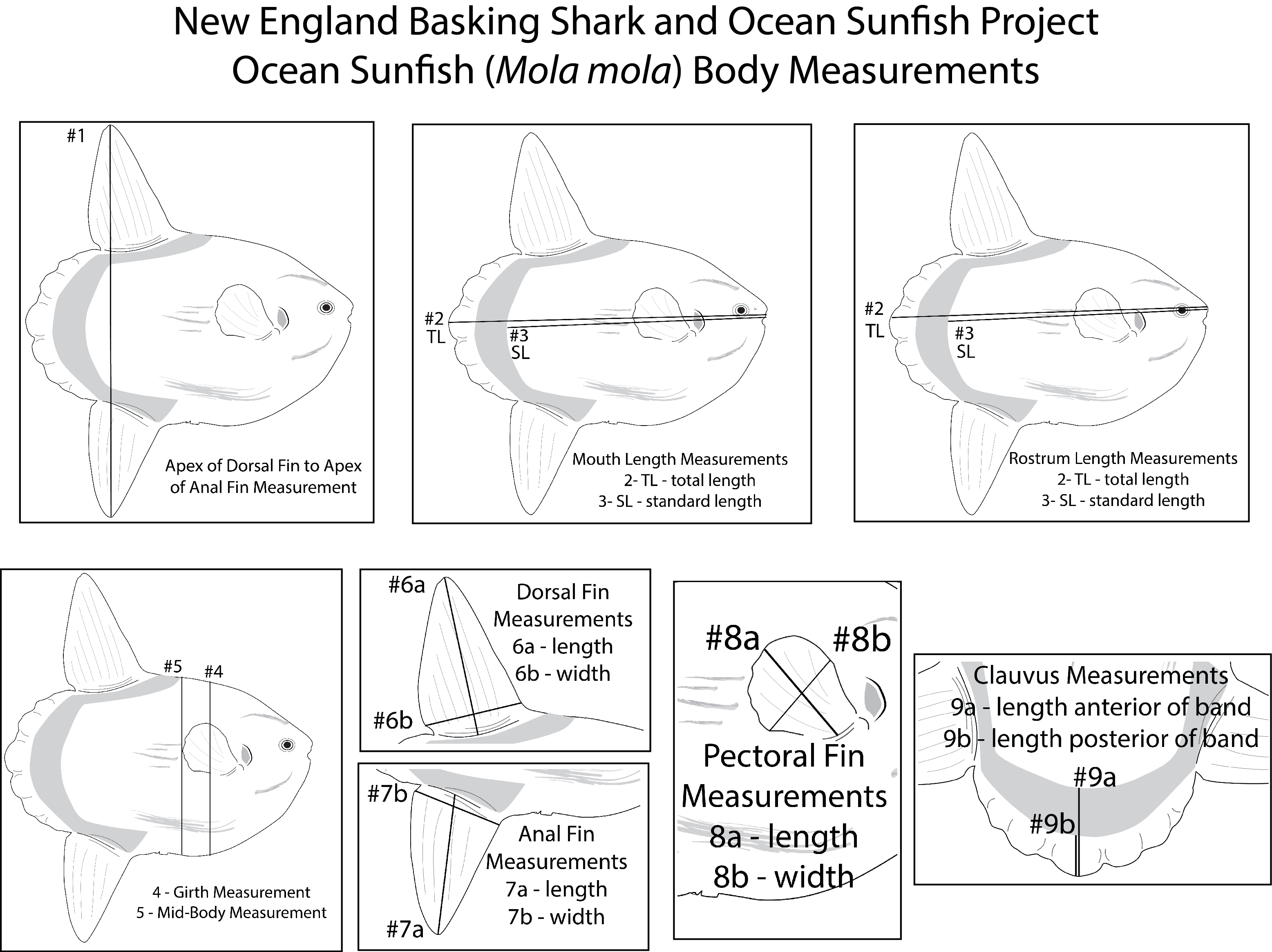 Body Measurements for Ocean Sunfish
