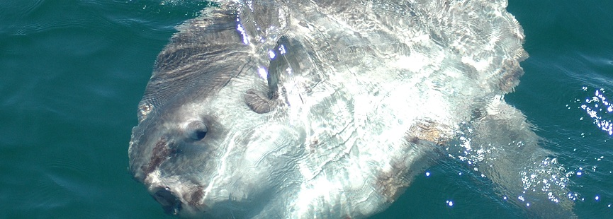 new england basking shark ocean sunfish project home